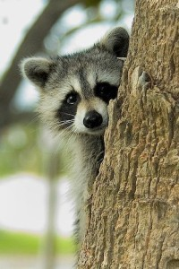 Raccoon peeking out from behind a tree